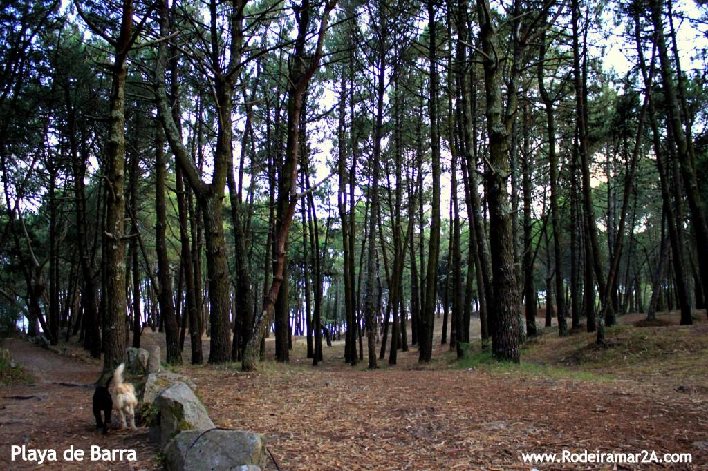 Bosque de pinos en la playa de barra