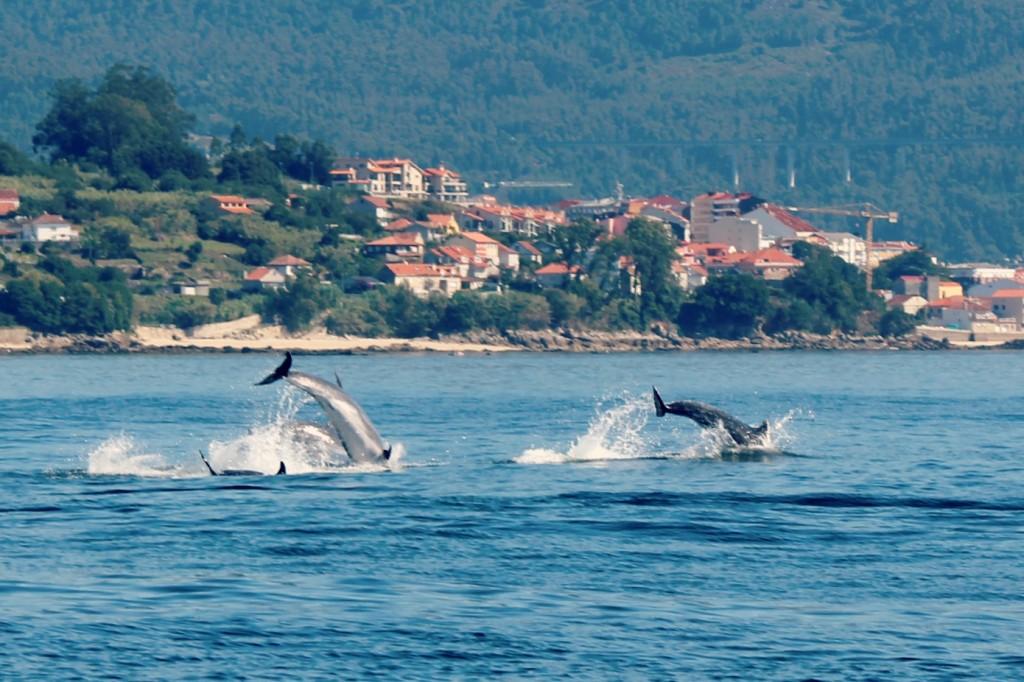 cetaceos en las rias gallegas: arroaces (delfin mular)
